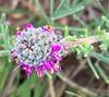 prairie clover (I think)