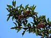 red apples in Waterton