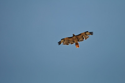 Fly Like a Hawk