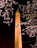 washington monument, washington dc, night, cherry blossoms