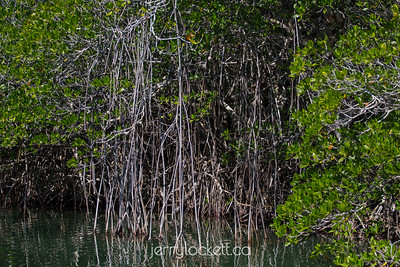 Mangroves, Key Largo