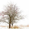 Winter Apple Tree