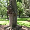 Dutch Elm - Boston Public Garden