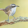 White-browed Babbler, Pomatostomus superciliosus.