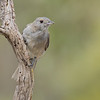 Grey- Shrike Thrush, Colluricincla,