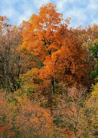 Golden Orange Tree in Fall