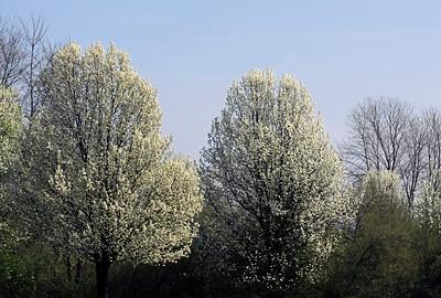 White Flowering Tress