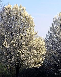 Flowering Trees in Spring