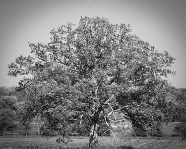 Tree in Spring in Black and White