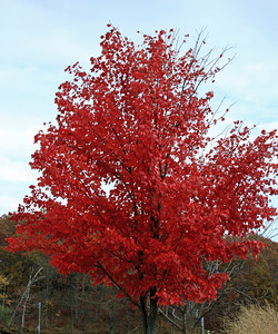 Red Red Maple in Fall