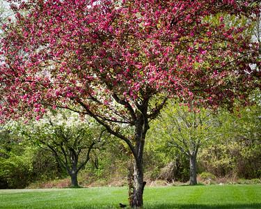 Red Floweriing Tree in Olney