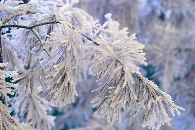 Frosty Bough