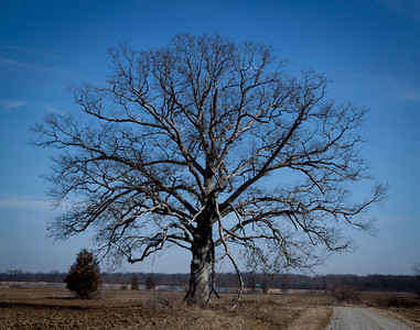 Old Tree in Country