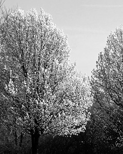 Flowering Tress in Black and White