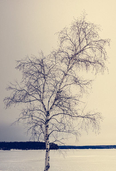 White Birch on Graham Lake 1-7-17