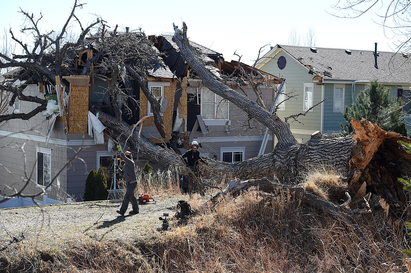 Jason Hinman, right, and Don Paulley, both with Alpine Arborists, start to remove small branches from a huge tree that fell on a house at 4049 Crawford Ct. in Loveland Tuesday, Feb. 21, 2017, in west Loveland. (Photo by Jenny Sparks/Loveland Reporter-Herald)