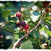 Saskatoon Berries II