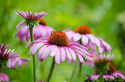 Echinacea Pollination