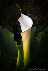 Graceful Callalily