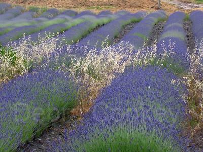 Lavendar Fields, Tuscany, Italy