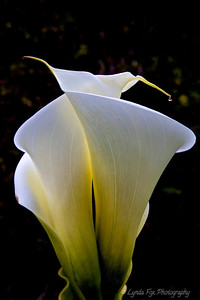 Calla Lily Duet