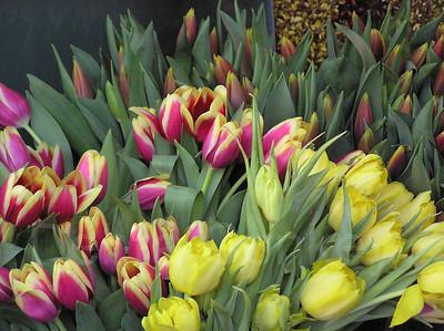 Tulips, Vienna, Austria