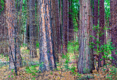 Yosemite Forest Standing Tall