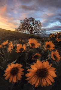 Balsamroot flowers during sunrise in Columbia Hills State Park, WA