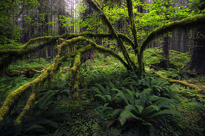 A green scene inside the Hoh Rainforest - Washington