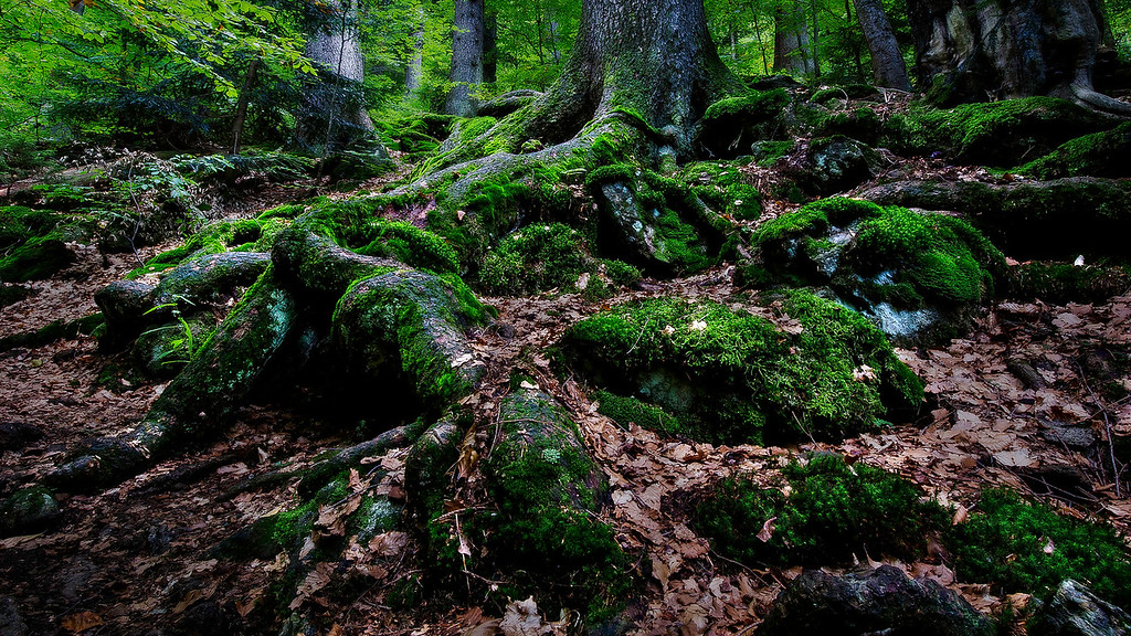 Mossy Spruce Root; Bayerischer Wald; Germany; 2013