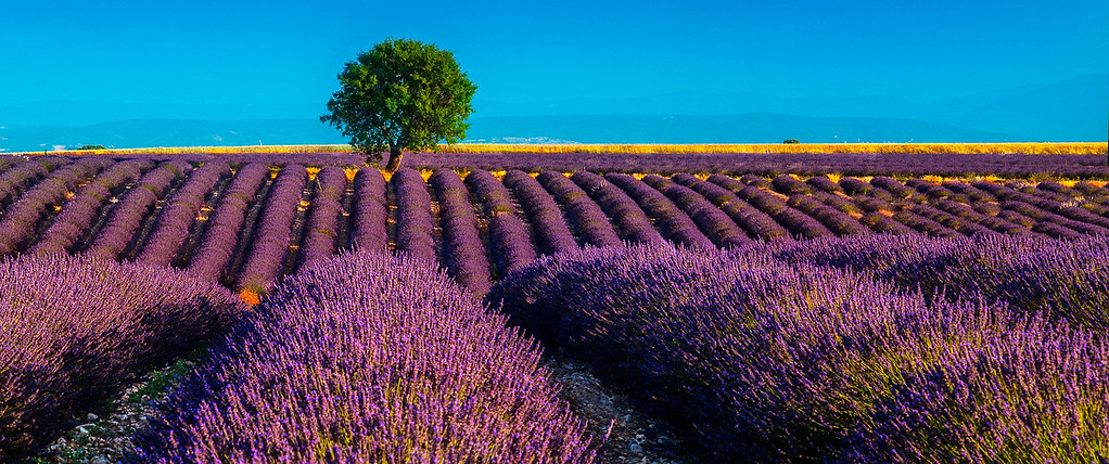 Lavender Field; Provence; France; 2009