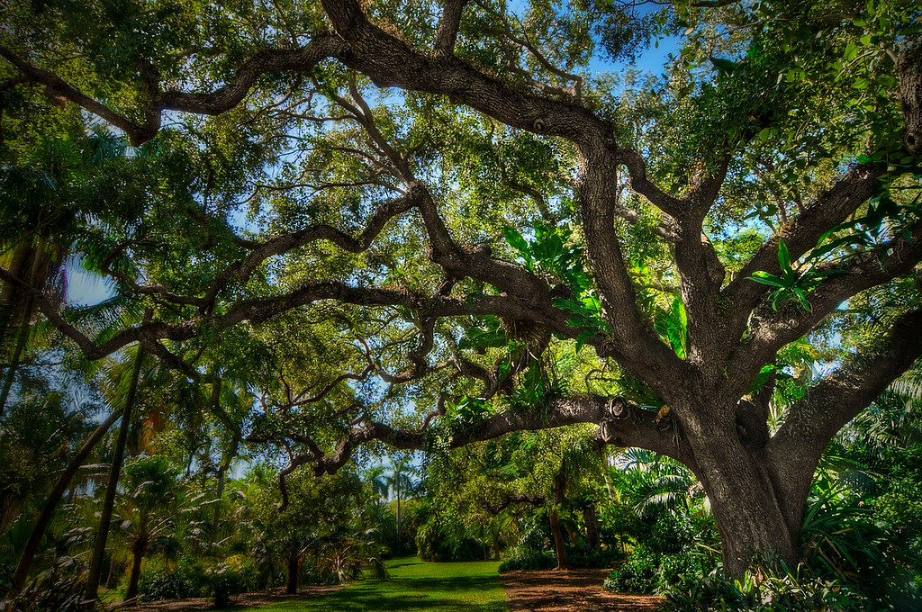 Oak Tree; Fairchild Gardens; Miami; Florida; USA; 2009