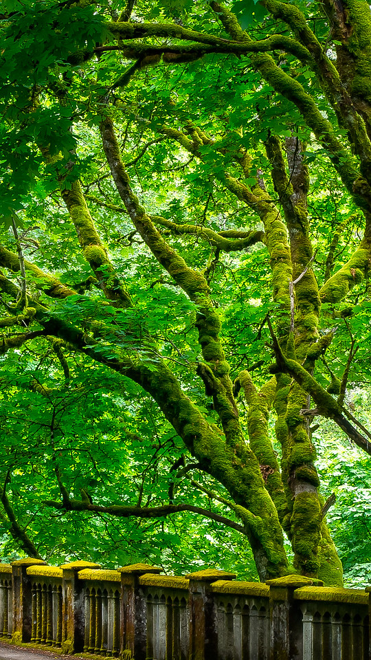 Mossy Trees; Columbia River Gorge; Oregon; USA; 2016