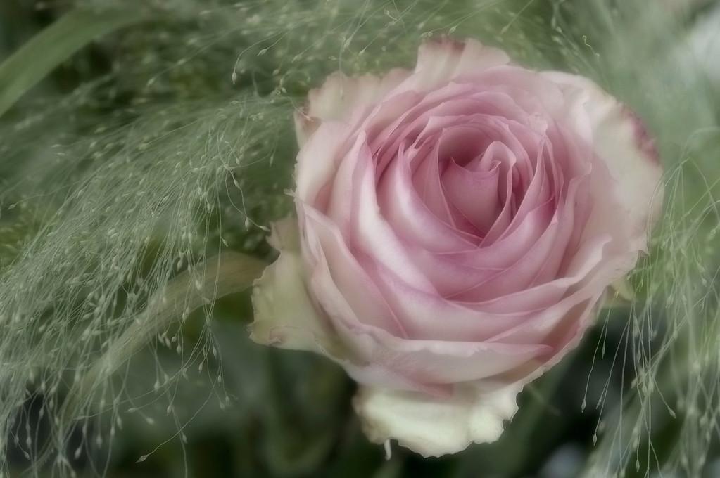 Rose; 2010