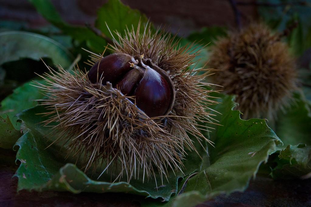 Marroni; Chestnut; Tuscany; Italy; 2011