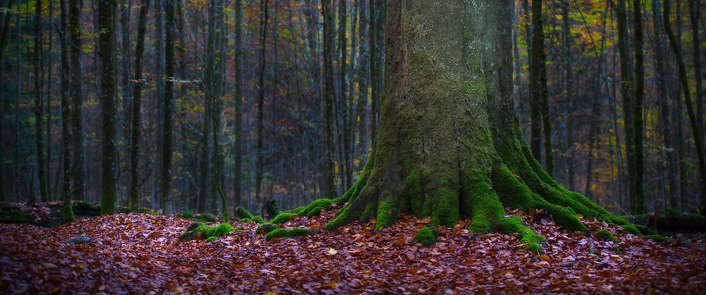Old Growth Beech Tree; Zwieslerwaldhaus; Wazlikhain; Bayerischer Wald; Germany; 2014