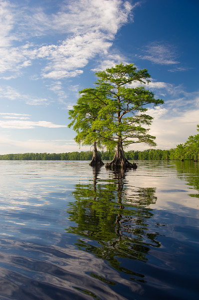Baldcypress Trees; Lake Drummond; Great Dismal Swamp; Virginia; USA; 2017