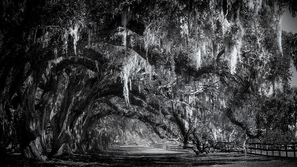 Spanish Moss; Oak Tree Avenue; Boone Hall Plantation; Charleston; South Carolina; USA; 2014