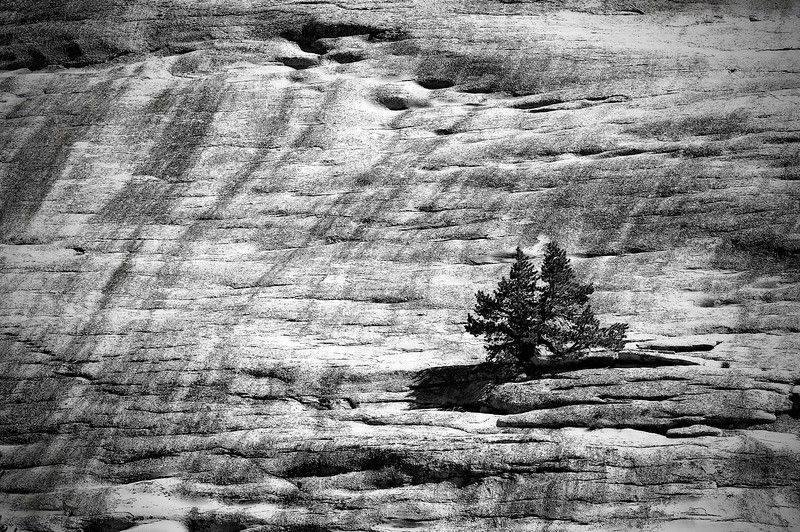Lonley Trees; Yosemite National Park; California; USA; 2016