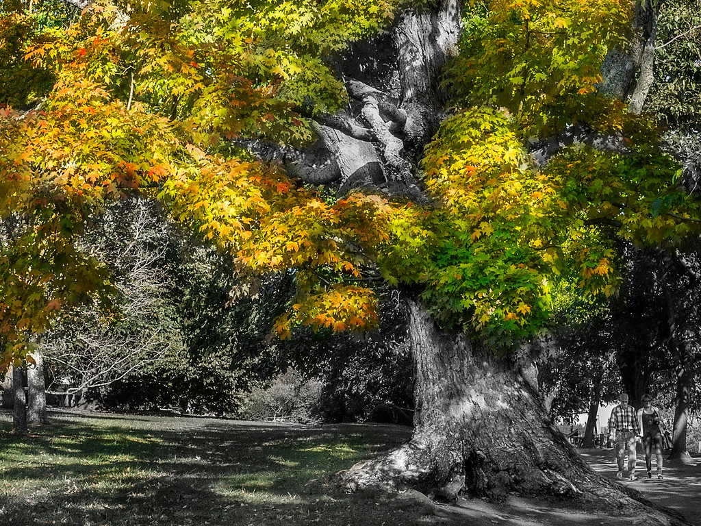 Maple Tree; Monticello; Charlottesville; Virginia; USA; 2012
