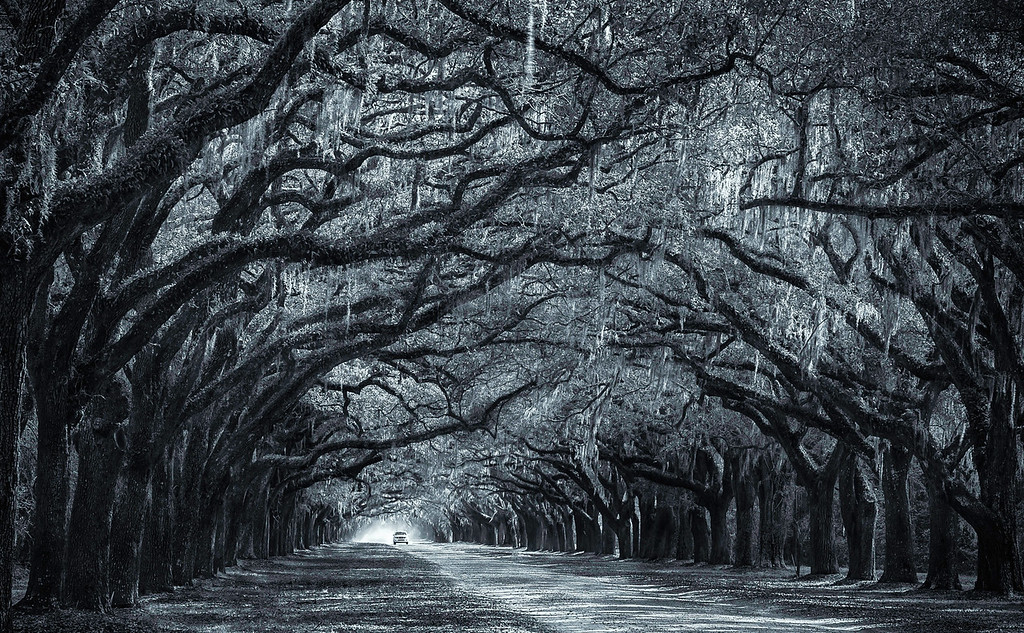 Spanish Moss; Oak Tree Avenue; Wormsloe Plantation; Savannah; Georgia; USA; 2014