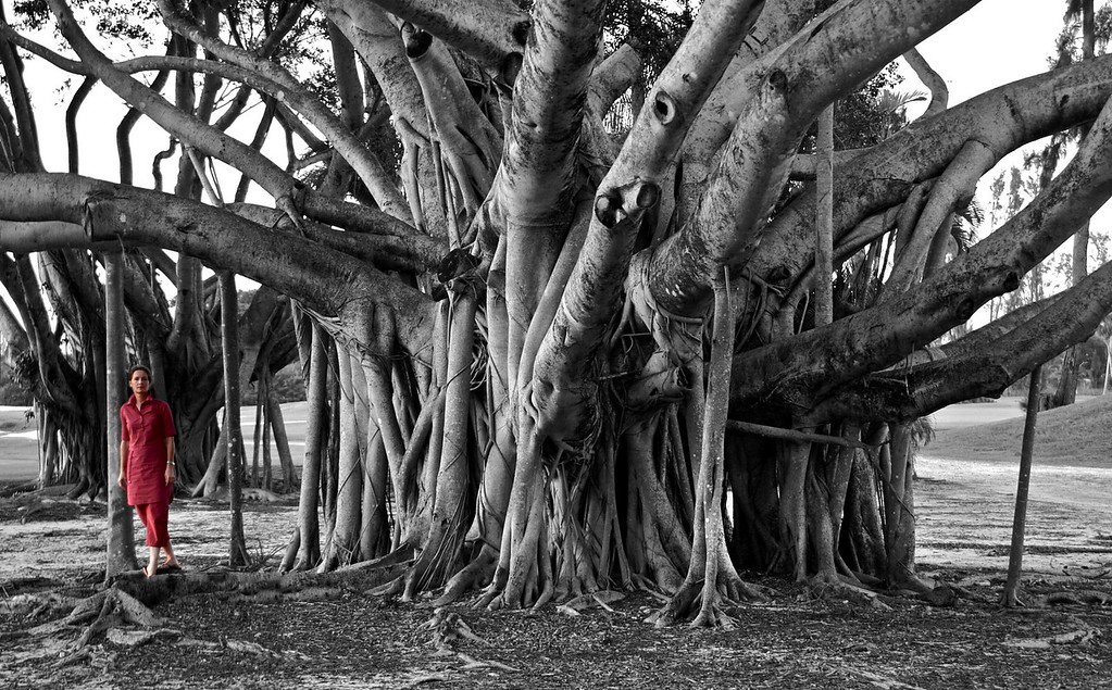 Banyan Tree; Senator Golf Course at Shula's; Miami Lakes; Florida; USA; 2008