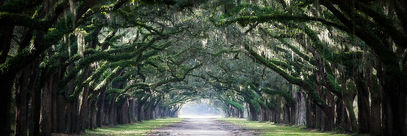 Spanish Moss; Oak Tree Avenue; Wormsloe Plantation; Savannah; Georgia; USA; 2015