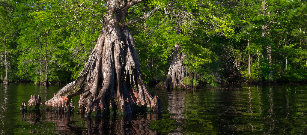Baldcypress Tree; Lake Drummond; Great Dismal Swamp; Virginia; USA; 2017