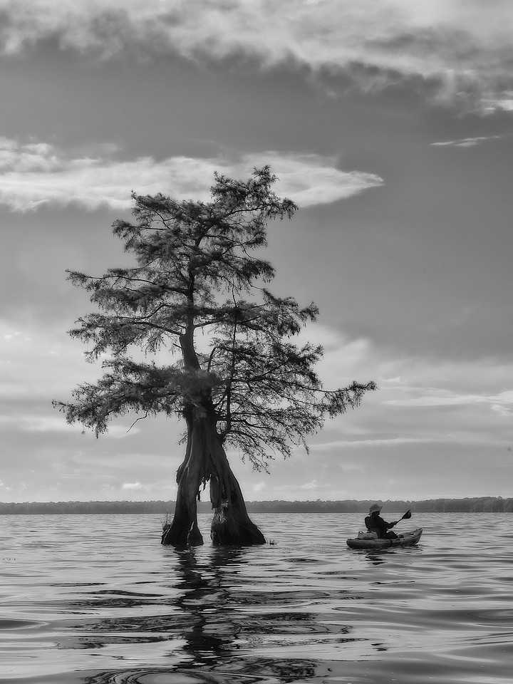 Horseshoe Tree & Canoeist; Baldcypress Tree; Lake Drummond; Great Dismal Swamp; Virginia; USA; 2017
