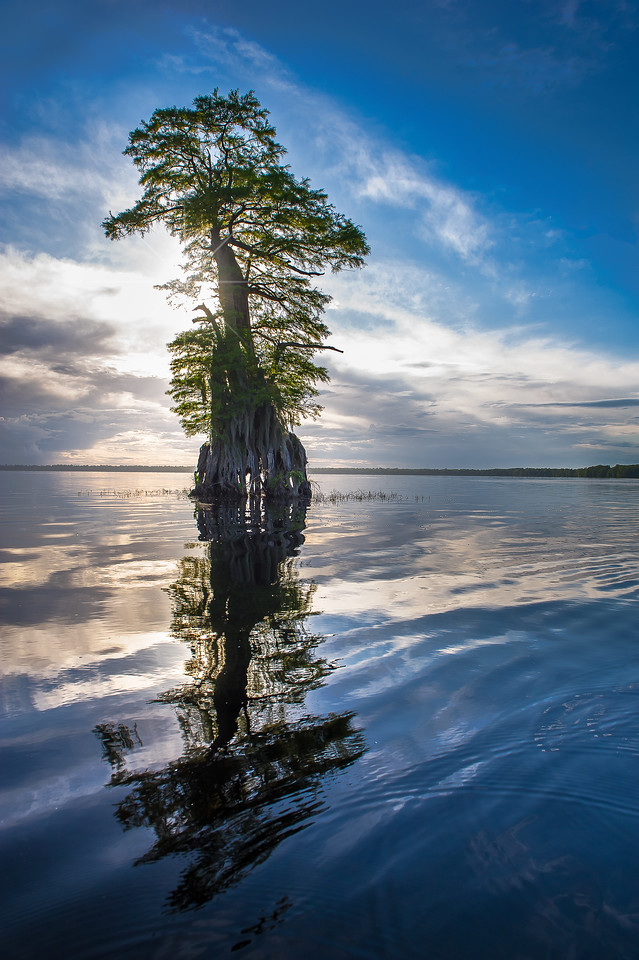 Ghost Tree; Baldcypress Tree; Lake Drummond; Great Dismal Swamp; Virginia; USA; 2017