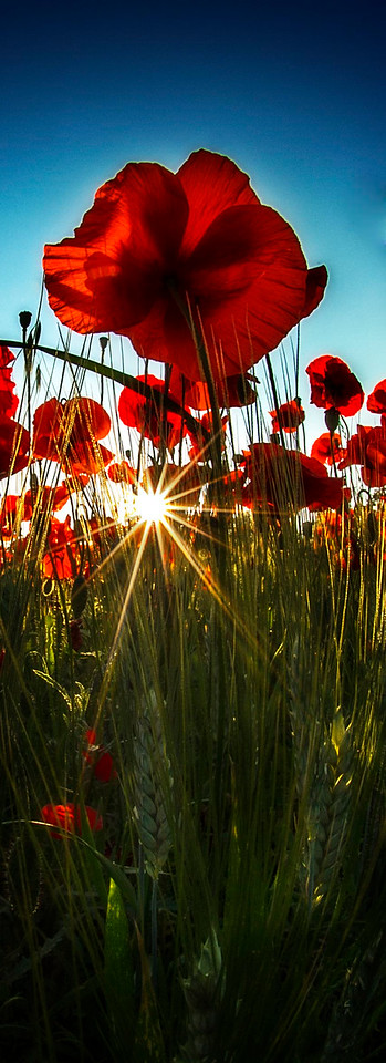 Poppies; Tuscany; Italy; 2011