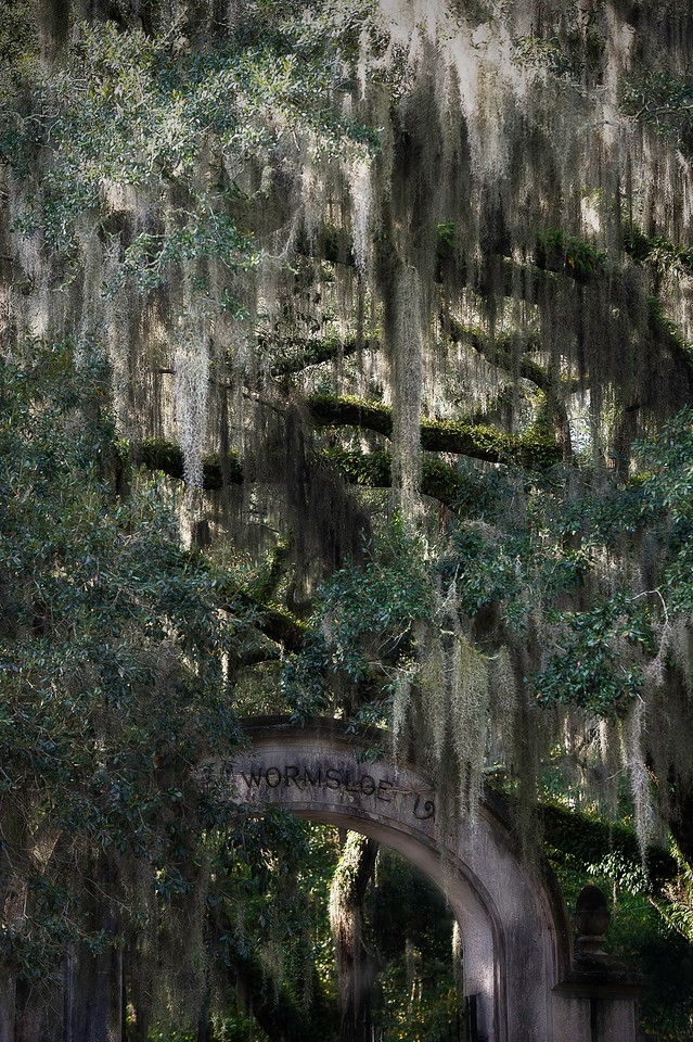 Spanish Moss; Wormsloe Plantation; Savannah; Georgia; USA; 2015