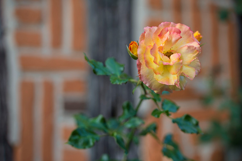 Rose; Gerberoy; France; 2011