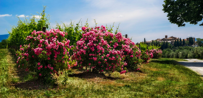 Rose bushes in vineyard; Tuscany; Italy; 2011